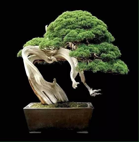 bonsai来自日本,而不来是自中国盆景?