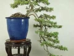 悬崖式盆景的树形设计及制作