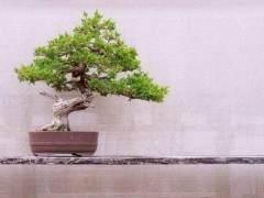 5种冬季在室内最耐寒的盆景植物