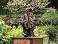 韩国盆栽组合协会14人来中国进行盆景考察