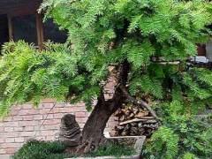 红豆杉盆景已经是北京一线城市办公室和家庭的常客