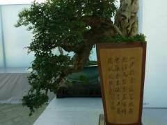 福建闽中盆景园的特色、盆景树石种类