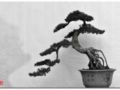 唯一位在世的川派盆景艺术大师 -- 邹秋华
