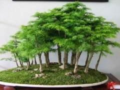 迷迭香盆景怎么翻盆与施肥 图片