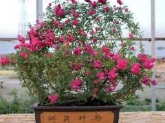 月季除盆栽、地栽观赏和做切花用外 还可制作盆景