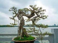 北京霍爷的盆景史