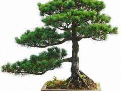 五针松盆景养护的5个技巧