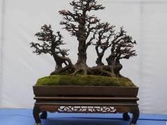 树桩盆景多用紫砂盆和彩陶盆 形状不拘