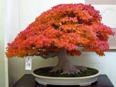枫树盆景发芽时的制作与室内养护