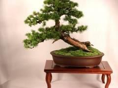 第三届美国国家盆景展上展出了一棵树
