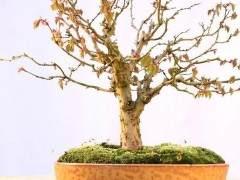 金州盆景联合会会议上获得了一个小品杜松盆景