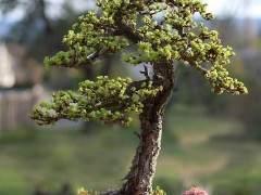 2010年日本落叶松盆景