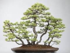 如何制作日本楓樹叢林盆景?