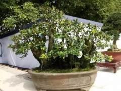 第十届精品盆景泸州展览盛会