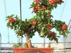 河南:第四届金秋果树盆景展开展在即