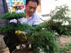 松树盆景发芽后的移栽技术