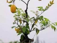 山西老果农学习新技术 果树栽花盆当成盆景热卖