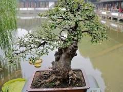 栽培技术—日本海棠的养护管理及运用