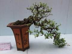 园林种植技术—如何养护日本海棠盆景