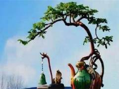 种植技术—日本海棠盆景