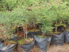 南天竹盆景怎么剪枝设计的方法 图片