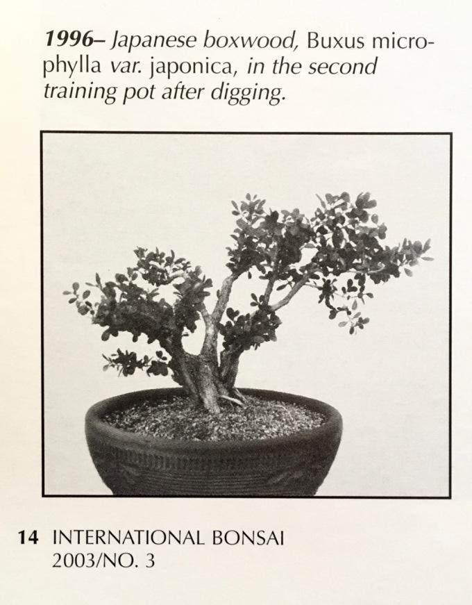 对日本黄杨木盆景的修剪过程【图片】