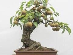 梨树老桩盆景怎样造型的3个方法
