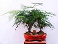 文竹盆景的浇水光照与施肥方法