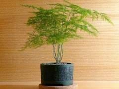 文竹盆景怎么选盆的3个方法 图片