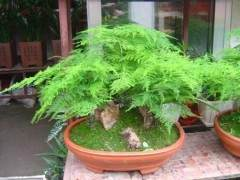 文竹盆景的取材造型与施肥养护