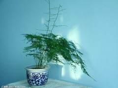 文竹盆景浇水过多 容易烂根黄叶