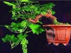 葡萄盆景栽培技术