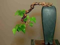 葡萄盆景的的整形修剪与施肥浇水