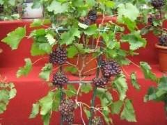 如何在家里阳台上种植葡萄盆景的方法