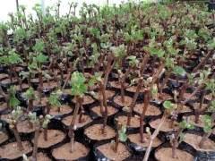 如何给盆景葡萄越冬与修剪的5个方法