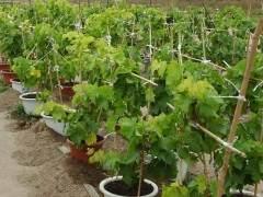 葡萄盆景要多施肥 可以用腐熟的动物粪便