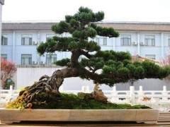 松树盆景在春季发芽后的花盆与土壤选择