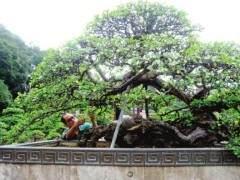 雀梅王是苏州盆景人多年的心血之杰作