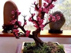 腊梅盆景种植时的3个注意事项