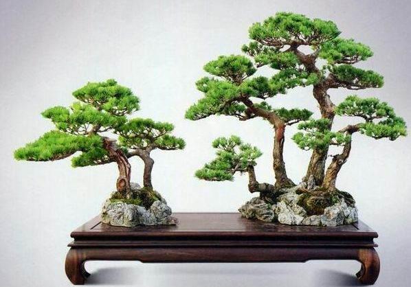 购买日本五针松盆景