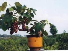 葡萄盆景的简易发芽制作方法 图片