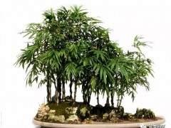 竹类盆景的栽种及养护技巧