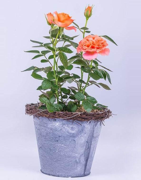 年宵期间 迷你玫瑰单盆批发价在18元至20元