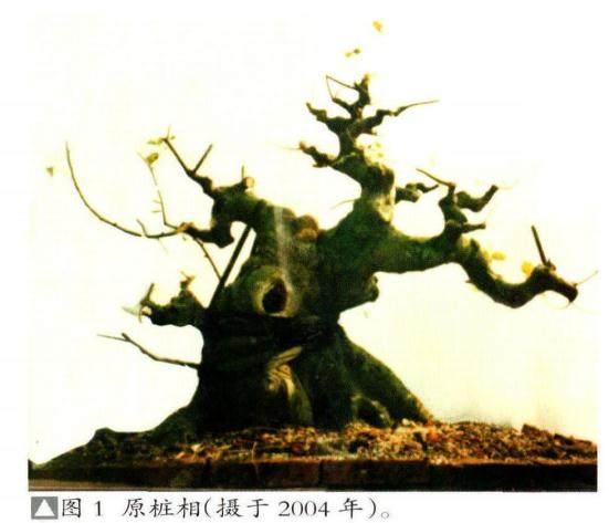 图解我是如何将朴树桩坯制作成盆景的?