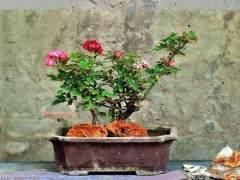 盆景月季石榴的繁殖栽培