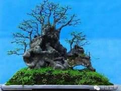 上海树桩盆景用粗扎细剪的方法制作