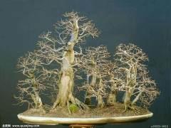 盆景粗枝的扦插发芽方法 图片