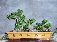 冬季雀舌大叶黄杨盆景怎么浇水养护技巧
