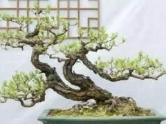 如何将花木制作成盆景?