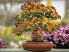 如何让菊花盆景的花蕾有良好发育?